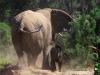 desert-elephant2