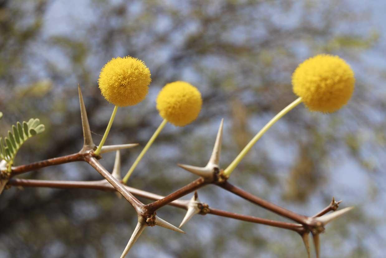 acasia-eriolobia-blom