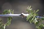 acacia-three-thorn